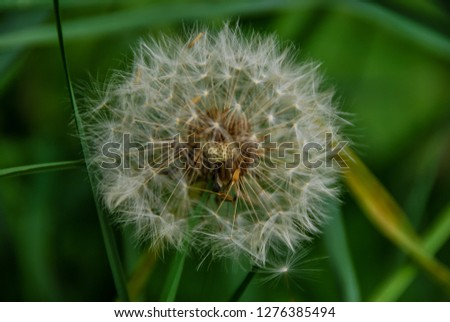dandelion on green background, beautiful photo digital picture