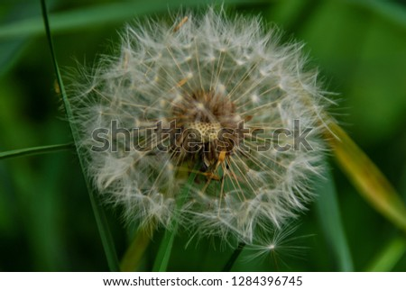 dandelion on green background, digital photo picture as a background