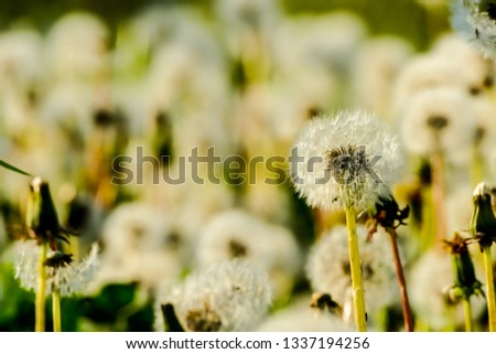 dandelion on green background of grass, beautiful photo digital picture