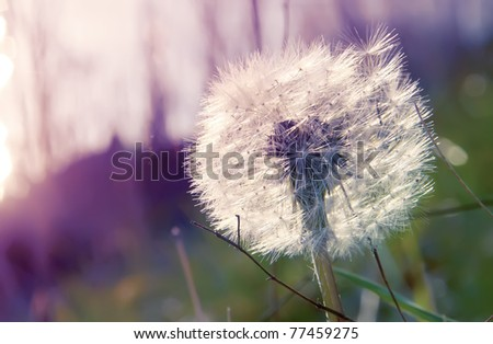 dandelion on the abstract background