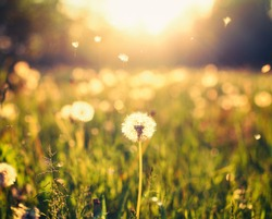 Dandelion on the meadow at sunlight background