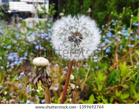dandelion picture nature green garden