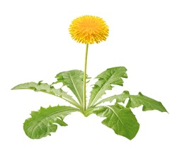 dandelion plant isolated