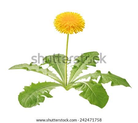 dandelion plant isolated