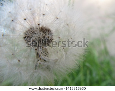 Dandelion, seed dandelion, summer dandelion #1412513630