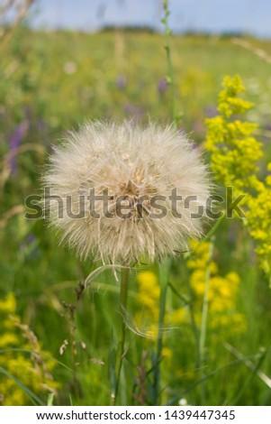 Dandelion, seed dandelion, summer dandelion #1439447345
