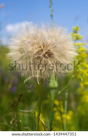 Dandelion, seed dandelion, summer dandelion #1439447351