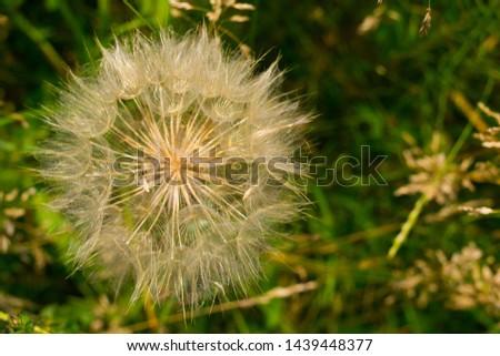Dandelion, seed dandelion, summer dandelion #1439448377