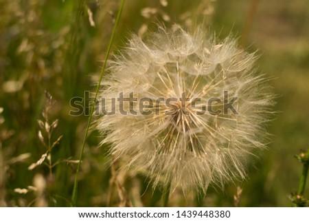 Dandelion, seed dandelion, summer dandelion #1439448380