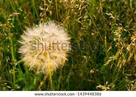 Dandelion, seed dandelion, summer dandelion #1439448386
