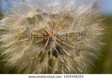 Dandelion, seed dandelion, summer dandelion #1439448392