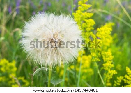 Dandelion, seed dandelion, summer dandelion #1439448401