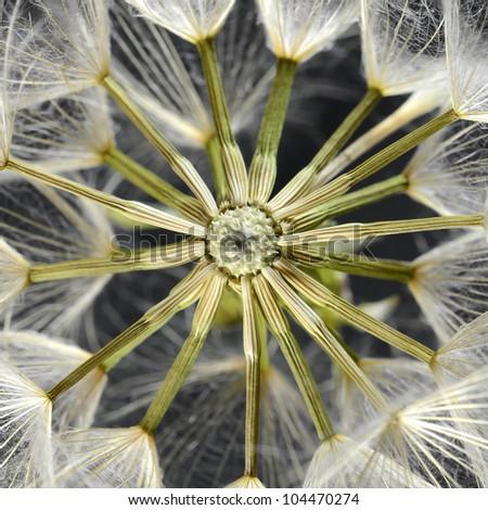 Dandelion seed head #104470274