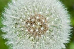 Dandelion seed head closeup