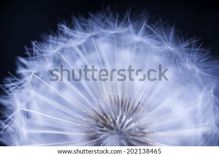 Dandelion seed head macro close up on black background