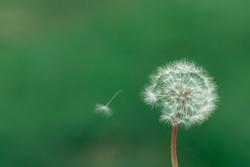 Dandelion seed pod in a beautiful background