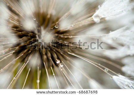 Dandelion seed with dewdrops, shallow DoF