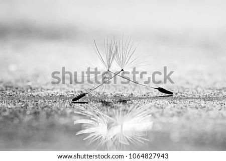 dandelion seeds black background concept lightness #1064827943