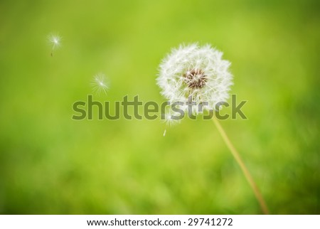 Dandelion seeds blowing away in the wind