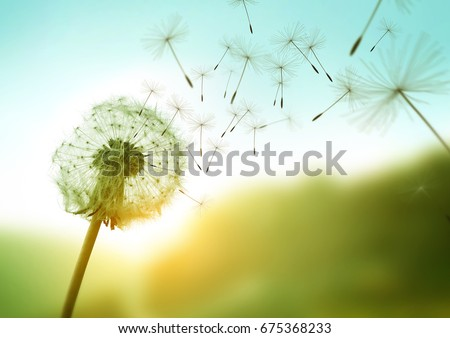 dandelion seeds blowing in the...