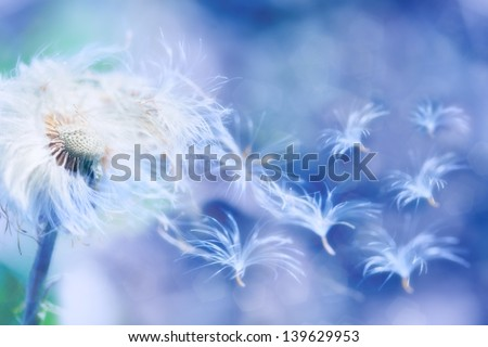 dandelion seeds blowing wind, dreamy magical image with blue tones