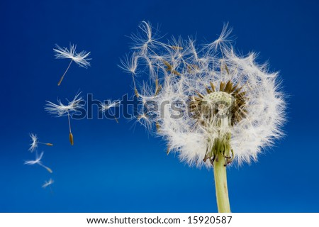 Dandelion seeds blown in the wind