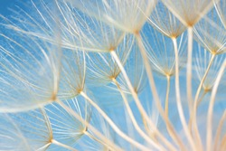 dandelion seeds close-up on a blue background. Abstraction