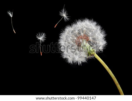 Dandelion seeds floating on the wind