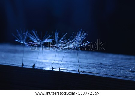 Dandelion seeds in the dark