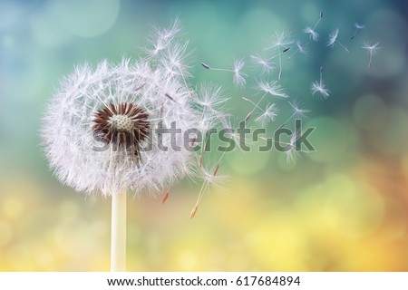 Dandelion seeds in the sunlight blowing away across a fresh green morning background #617684894