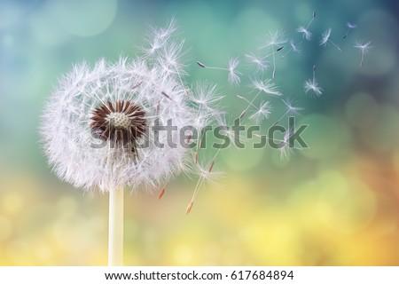 dandelion seeds in the sunlight ...