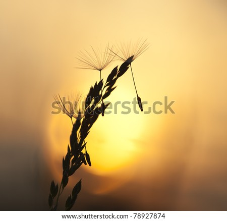 Dandelion seeds on straw in setting sun, copy space in photo