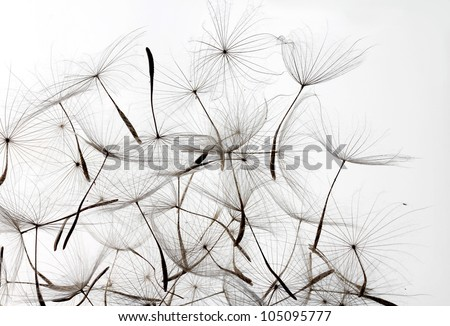 dandelion seeds over white background