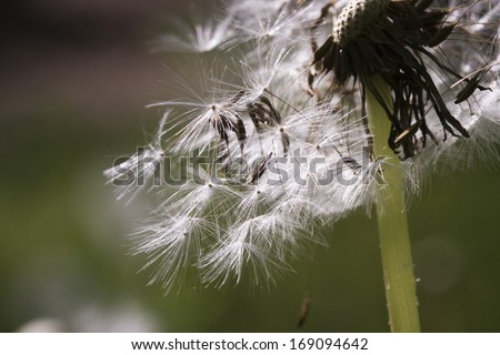 Dandelion seeds with natural background