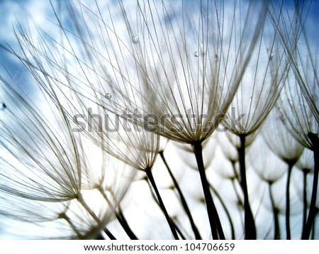 Dandelion seeds 47, with tiny depth of field - Shutterstock ID 104706659