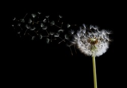 Dandelion spreading its seed in the blowing wind on black background