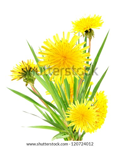 Dandelion spring flowers isolated white