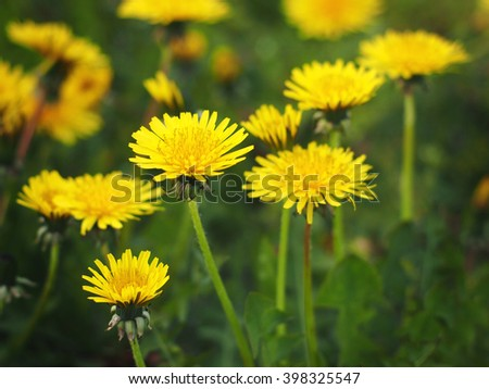 Dandelion, Taraxacum officinale, in flower.