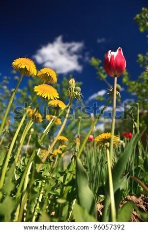 dandelion tulip