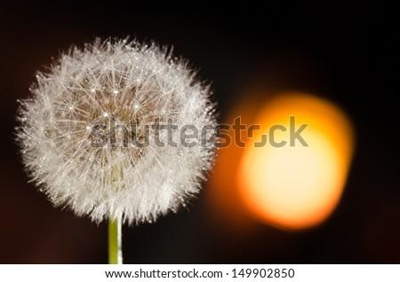 Dandelion under the night's light
