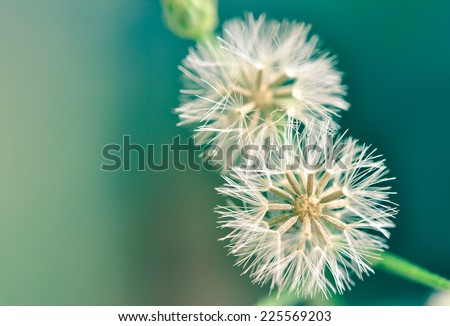 Dandelion vintage background.