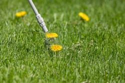 Dandelion weed in lawn and spraying weed killer herbicide. Home lawn care landscaping concept