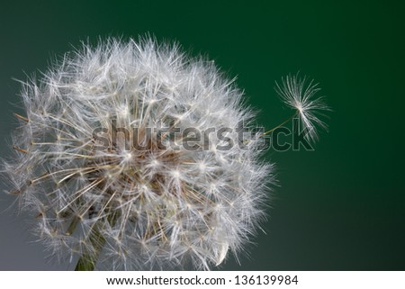 Dandelion with a single seed popping up