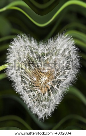 Dandelion with distorted form