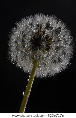 Dandelion with drops of water