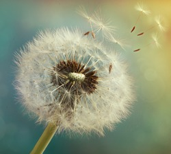 Dandelion with flying seeds on a beautiful luminous background