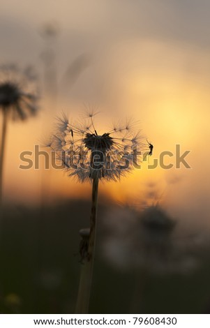Dandelion with mosquito in sunset, focus on the mosquito