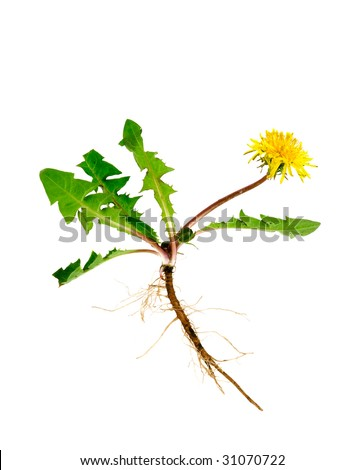 Dandelion with roots isolated on white