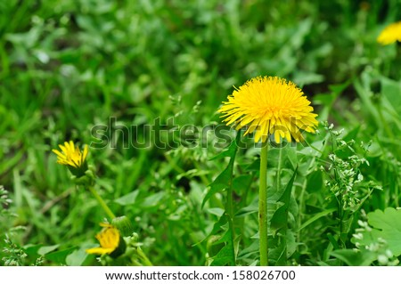 Dandelion yellow flower growing in spring time on the green grass