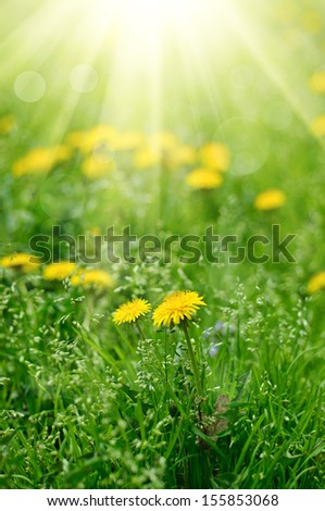 Dandelion yellow flower growing in spring time on the green grass with sun rays